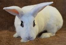 Révisions zootechnie cunicole - les races de lapins