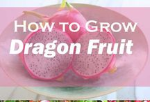 DRAGON FRUIT CULTURE