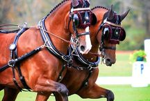 ló /gelderlandi, hackney/