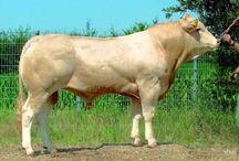 Blonde D'aquitaine / Cattle