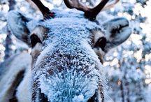 cute reindeers :3