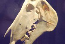 animal skulls GN
