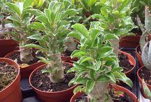pachypodium / succulents, plants, cactus, garden, giromagi, indoorplant