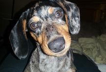 doxy genny girl / This is my little sweet dachshund, she's the best doggie in the world !!