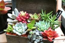 Succulents / by Becky Farris