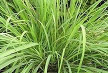 Lemon Grass Health Benefits