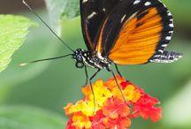 Papillons tropicaux de notre jardin - Tropical Butterflies of our garden / Dans cette rubrique vous trouverez les papillons tropicaux que nous avons au jardin à Vannes (Morbihan FRANCE) - Tropical Butterflies
