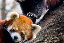 ~❤️~ Red Pandas ~❤️~