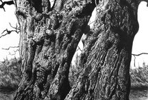Drawings of Trees / Detailed careful observations of trees. In pencil, pen and other media.