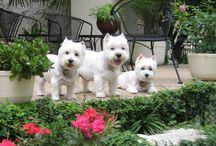 Westie dogs