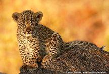 Leopar / Ocelet / Leopar / Bulutlu Leopar (Clouded Leopard) / Ocelet (Cüce Leopar)
