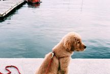 Golden Retrievers / My favorite dog breed!