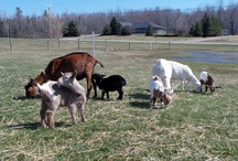 Goats / Goats and their cute kidds