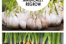 regrow