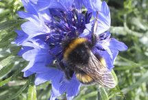 Flowers for bees / Organic flowers growing at Maddocks Farm Organic. Attracting pollinators and helping bees.