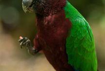Prosopeia / Il genere prosopeia comprende tre specie di pappagalli di buona taglia, appena inferiore al mezzo metro, molto rari sia in natura che in cattività e caratterizzati da una livrea molto appariscente e ricercata. http://www.pappagallinelmondo.it/prosopeia.html