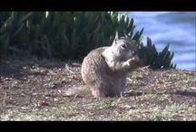 La Jolla, CA / Squirrels of La Jolla, CA Video capturing moment of wildlife