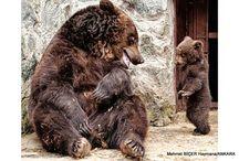 Ayılar ... ( Bears )