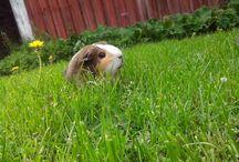 Guinea pigs (: