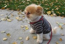 Pomeranians / This is for Fez, the love of my life. A Pomeranian who is a true gentleman, and a kind soul.