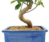 New Potted Bonsai / New potted bonsais at DallasBonsai.com