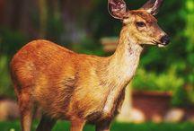 Repel deer