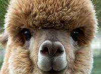Alpacas Make Us Laugh / Fun pictures of Alpacas. / by C-A-L Ranch Stores