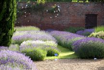 Lavendel richtig pflegen, schneiden und verwenden / Lavendel ist ein toller Halbstrauch, ein tolles Kraut im Garten, der sehr pflegeleicht ist, wenn man weiss, wie er zu behandeln ist. Er muss stark geschnitten werden und trocken stehen. Tipps und Infos zu Schnitt, Pflege, Sorten und Verwertung gibt's auf dieser Pinnwand.