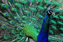 Peacocks #TracyGymellasPhotography