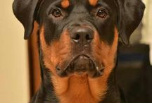 Rottiweiler / by Mary McJunkins