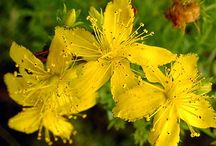 St. John's Wort Health Benefits and Side Effects