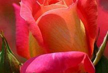 rózsacsodák