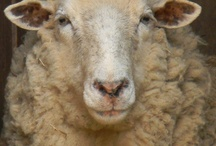Sheep / I absolutely love sheep.  I would have some if we had a farm.