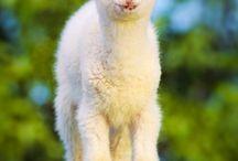 Sheep - All things