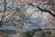Scenery with a cherry tree . myself photo