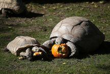 Animales del Zoológico de Viena celebran el Halloween / Todos los animales del zoológico Tiergarten Schönbrunn en Viena disfrutan de unas deliciosas calabazas como parte de las celebracion local del día de Halloween. #HappyHalloween
