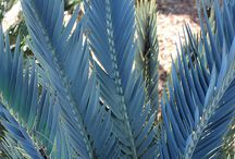 Cycads / Rare cycads and helpful information.