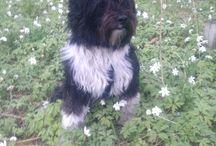 Tibetan terrier / Tseepo Kyi's Casanova Lamleh