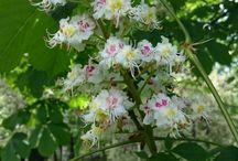Деревья/ цветы / Каштан