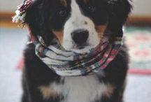 I ❤️ Bernese Mountain Dog