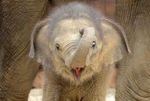 Bébi elefántok