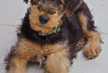 ♡ Airedale