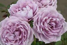 kordes Rose