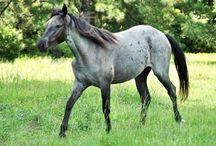 Le Carolina Marsh Tacky / Le Carolina Marsh Tacky descend de chevaux ibériques qui ont été importés par les conquistadores, ils sont proches du Florida Craker et aussi du Banker.