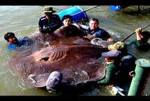 Необычная увлекательная рыбалка. Рыбаки поймали огромного…