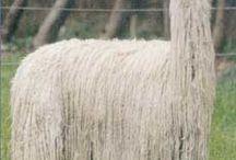 lama&alpaca