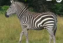 Africa! / Our panoramic Africa! exhibit brings you close to wildebeest, giraffe, zebra and more.