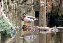 Waccamaw River / Paddle with us on our Waccamaw River Tour through the undeveloped peaceful black water swamps of the low country and enjoy the solitude and serenity that this natural sanctuary has to offer.