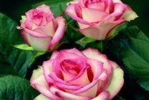 roses / by Diane Zink