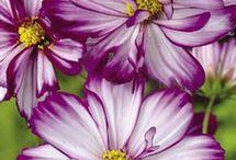 Lepkevirág-cosmos